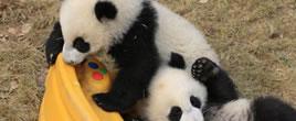 """熊猫粉丝帮9只大熊猫""""甩掉""""乳名"""