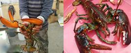 烟台现3.8斤重罕见大龙虾