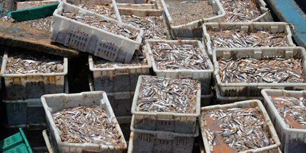 企业偷捕910万公斤海鱼价值2千万